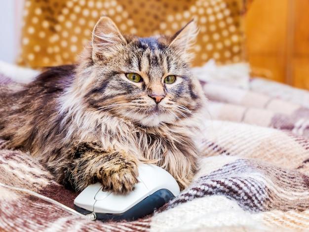 Een jonge pluizige kat met een computermuis. werk op kantoor achter de computer