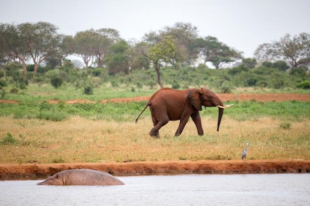 Een jonge rode olifant rent en speelt in het grasland van de savanne