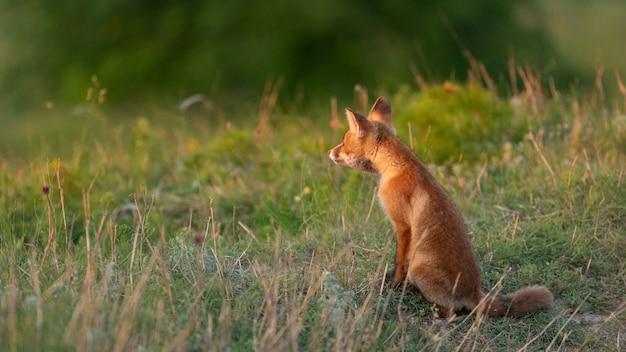 Een jonge rode vos in een prachtig licht
