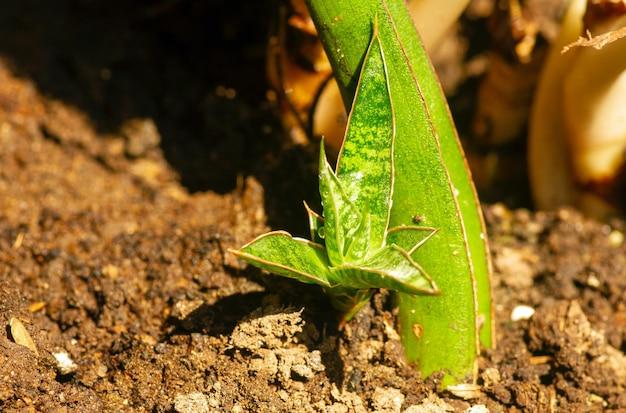 Een jonge sansevieria plant in vruchtbare grond