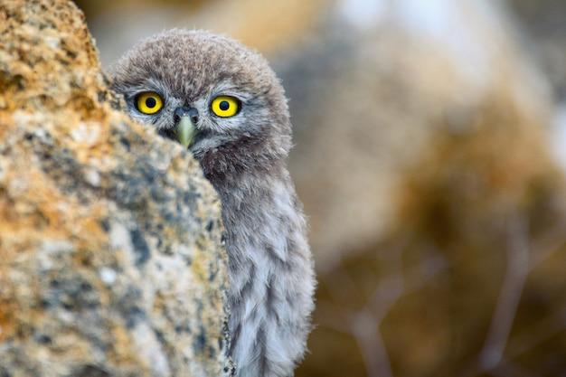 Een jonge steenuil athene noctua kijkt uit achter een rots