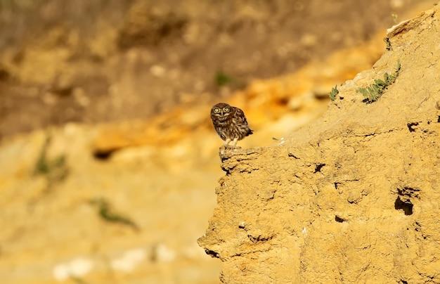Een jonge steenuil die me vanuit zijn schuilplaats aan het bekijken was