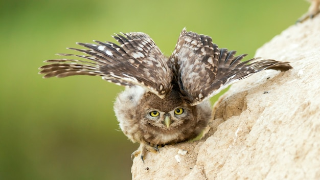Een jonge steenuil staat bij zijn hol en spreidt zijn vleugels.