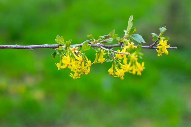 Een jonge tak van een zwarte bessenstruik met tot bloei komende gele bloemen en groene bladeren