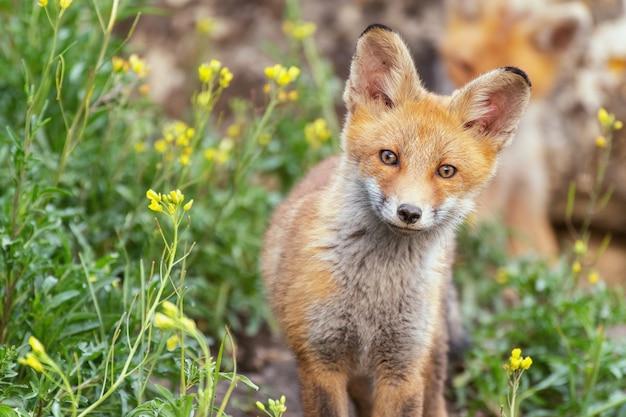 Een jonge vos staat in het gras bij het hol