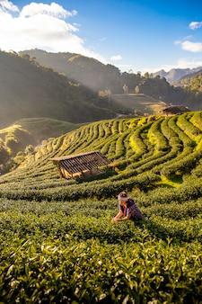 Een jonge vrouw verzamelt theebladen in de ochtend bij een theeaanplanting in chiang mai, thailand.