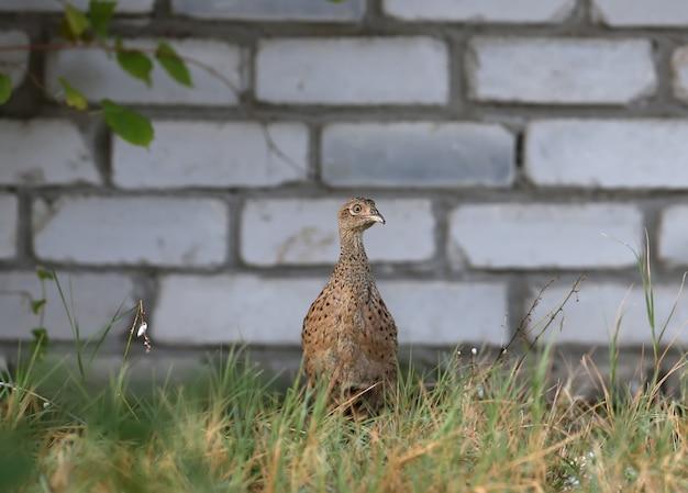 Een jonge vrouwelijke fazant wordt neergeschoten in een dik gras tegen een bakstenen muur