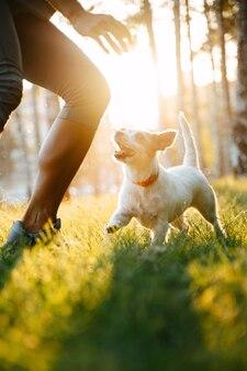 Een jonge witte kleine hond jack russell rent achter zijn baasje aan in het park op het groene gras