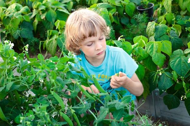 Een jongen die groene erwten en bonen in een tuin opneemt