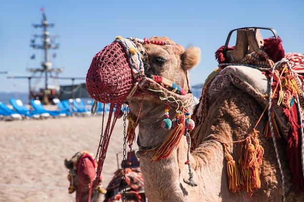 Een kameel, versierd met kwastjes, kralen en ornamenten