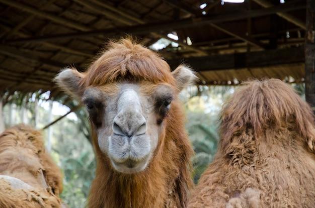 Een kameel