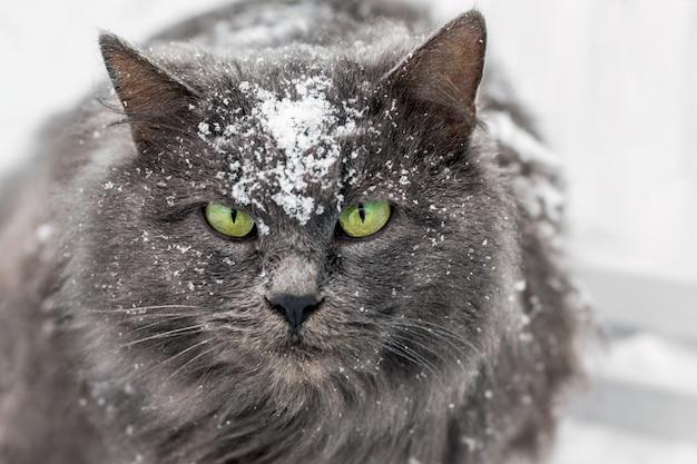 Een kat, bedekt met sneeuw, kijkt vooruit, een roofdier