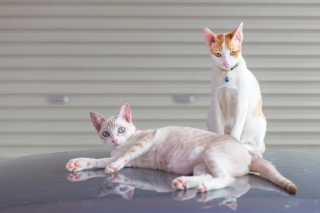 Een kat liggen en een kat zitten op het autodak in de garage