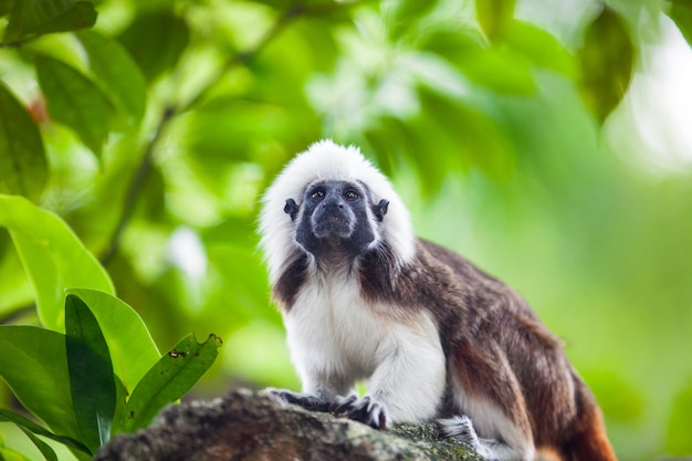 Een katoenen tamarin-aap