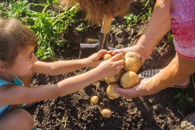 Een kind met een grootmoeder verzamelt een aardappelgewas. Premium Foto