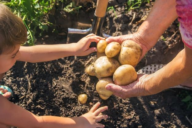 Een kind met een grootmoeder verzamelt een aardappelgewas.