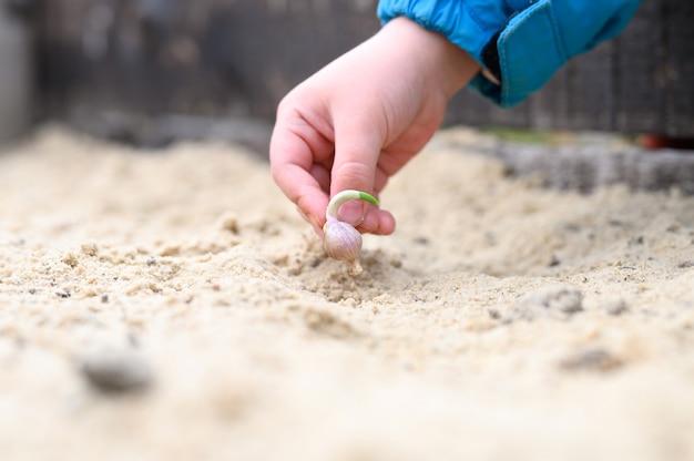 Een kinderhand die een gekiemd knoflookzaad in een tuinbed met zand plant