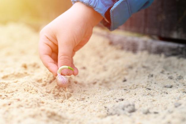 Een kinderhand die een gekiemd knoflookzaad in een tuinbed plant