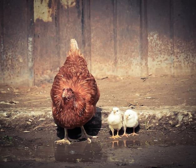 Een kip met kleine kippen die water drinken uit plassen in het dorp