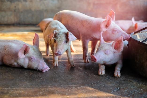 Een klein biggetje op de boerderij. groep zoogdier wachtend voer. varkens in de stal. populaire dieren die over de hele wereld worden grootgebracht voor vleesconsumptie en zakelijke handel. (sus scrofa domesticus)