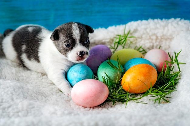Een klein chihuahua-puppy ligt, met paaseieren die voor hem op het groene gras liggen. selectieve aandacht.