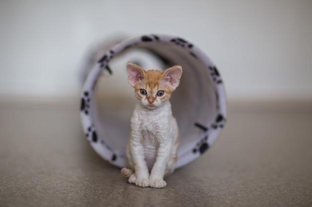 Een klein devonrex-katje zit bij een speelpijp