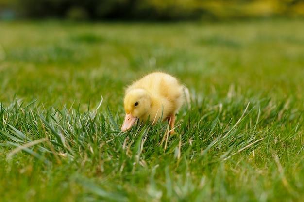 Een klein geel eendje op groen gras,
