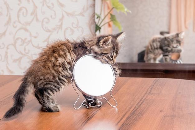 Een klein gestreept kitten wordt gespeeld met een spiegel. in de spiegel wordt een kitten getoond