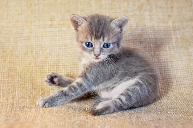 Een klein grijs katje met blauwe ogen die achteloos liggen, foto in studio