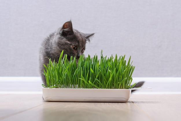 Een klein grijs kitten eet groen gras om vacht te fokken de kat eet haver bron van vitamines