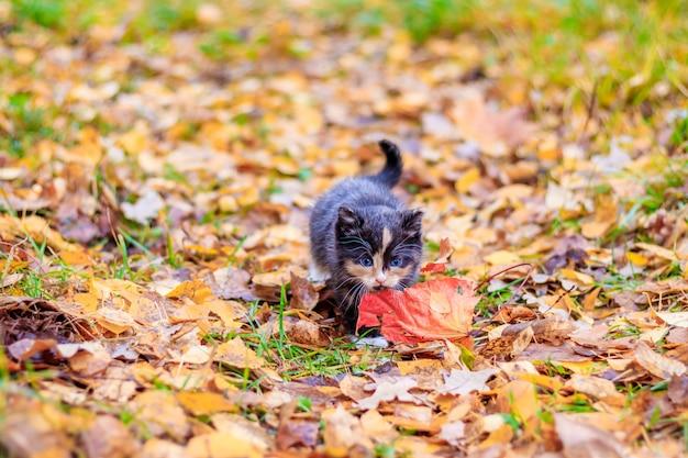 Een klein katje op het pad met bladeren. kitten op een wandeling in de herfst. huisdier.