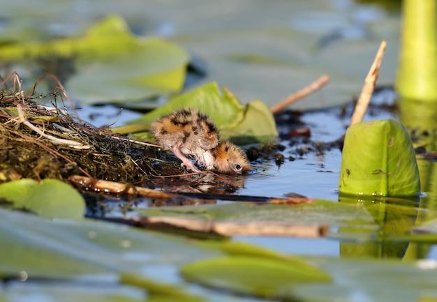 Een klein kuiken van bakkebaardenstern drinkt water uit het meer