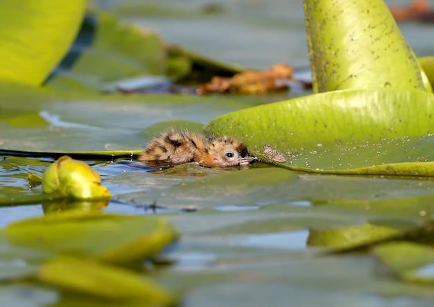 Een klein kuiken van de bakkebaardstern verstopt zich tussen de bladeren van waterplanten