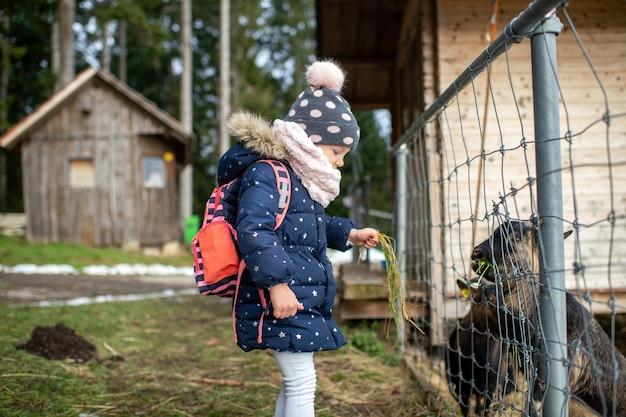Een klein meisje in warme kleren voedt gras berggeit door een hek