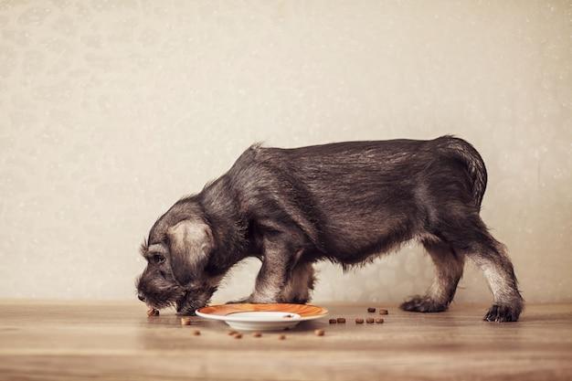 Een klein puppy van ras schnauzer eet voer. het concept van de juiste voeding van honden