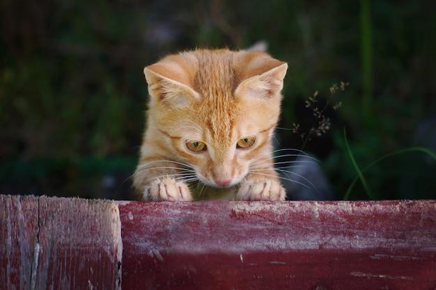 Een klein rood katje gluurt door het tuinhek