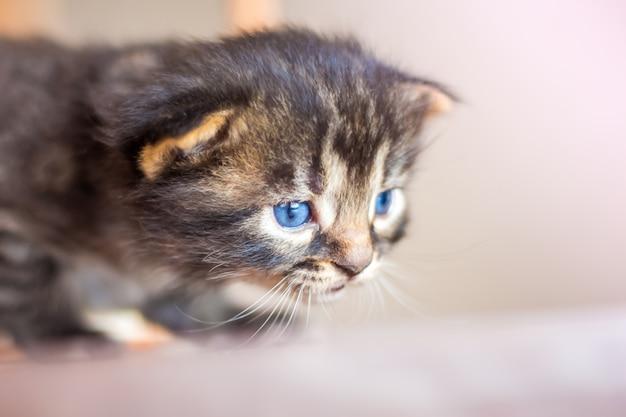 Een klein schattig klein blauw katje verstopt zich in hinderlaag tijdens het spel. roofdier tijdens de jacht