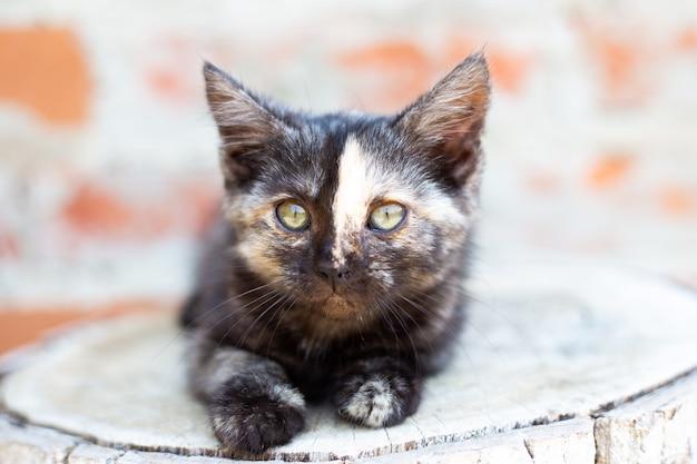 Een klein zwart katje met een strook op zijn neus kijkt naar de camera. favoriete huisdieren.