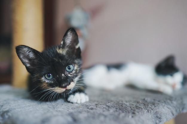 Een klein zwartharig thais katje ligt op de matras en staart met heldere ogen naar de camera.