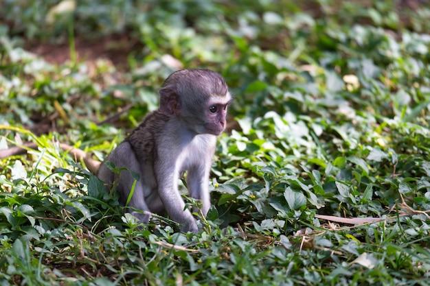 Een kleine aap zit in het gras