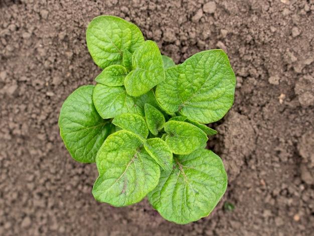 Een kleine aardappelstruik die in de grond groeit en goed groeit zonder ongedierte en onkruid