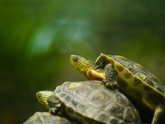 Een kleine aziatische schildpad