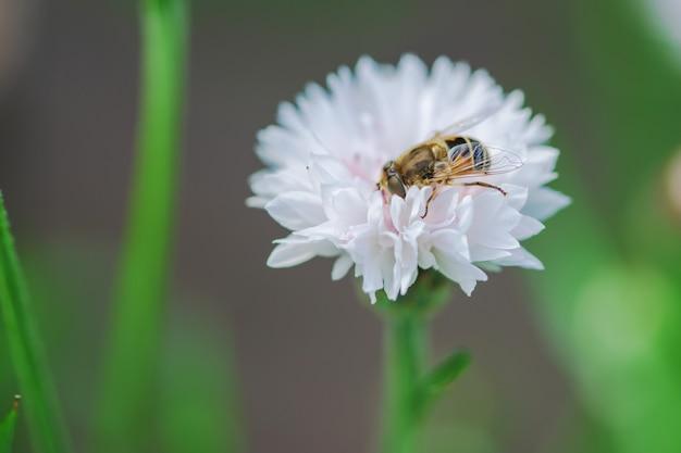 Een kleine bij verzamelt nectar van een witte bloem op een zonnige dag in de zomer.