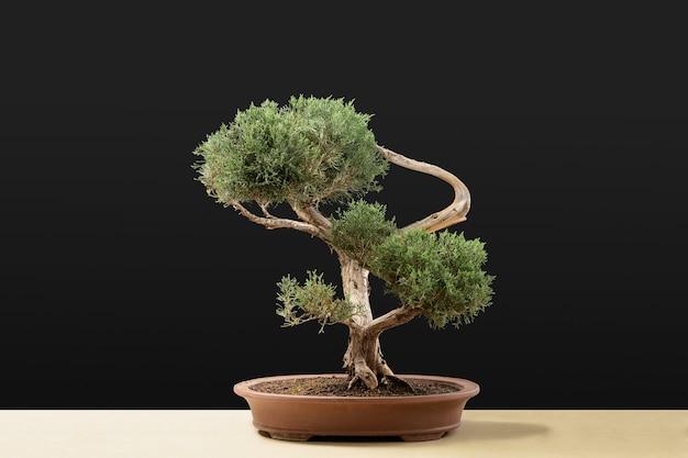Een kleine bonsaiboom in een keramische pot geïsoleerd op een zwarte muur