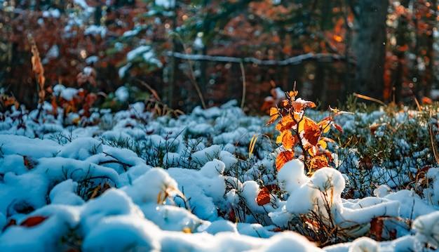 Een kleine boom staat bedekt met sneeuw tussen grote bomen op een open plek in het midden van een groot dicht bos in de karpaten.