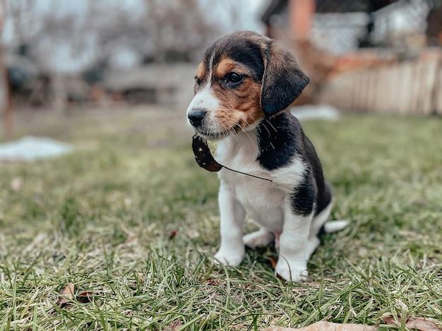 Een kleine brakpuppy van een maand oud zit op het gazon met een blad in zijn mond tegen de achtergrond van een privéhuis en tuin. hondenrassen, fotografie van puppy's.