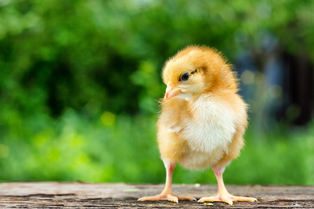 Een kleine bruine kip staat op een houten achtergrond, gevolgd door een natuurlijke groene achtergrond