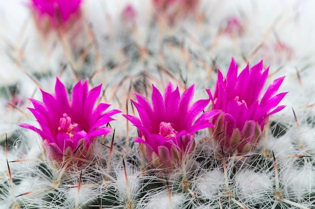 Een kleine cactus bloeit Premium Foto