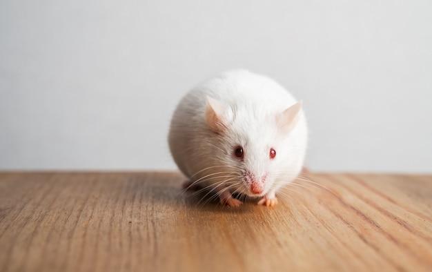 Een kleine decoratieve witte rat zit op de tafel in de keuken en eet een stuk brood.