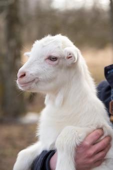 Een kleine geit in de armen van een jonge vrouw